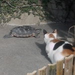 Do cats and turtles get along