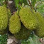 Jackfruit in the tree